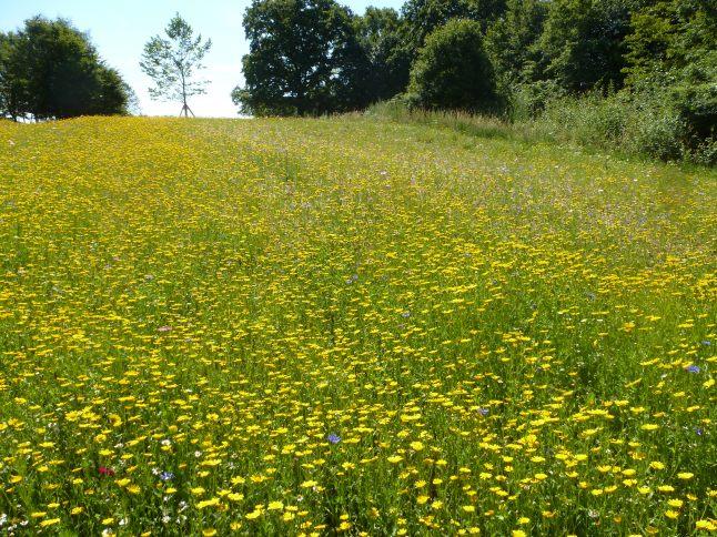 Gelbes Blütenfeld vom Golfplatz