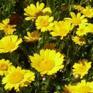 Nahaufnahme vom gelben Blütenfeld