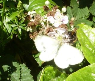 Weißer Schmetterling mit Hummel