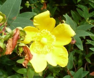 Gelbe Wildblüte