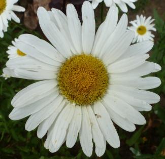 Weiße Margerite