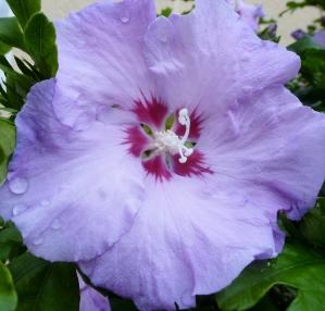 Hellblaue Hibiskusblüte