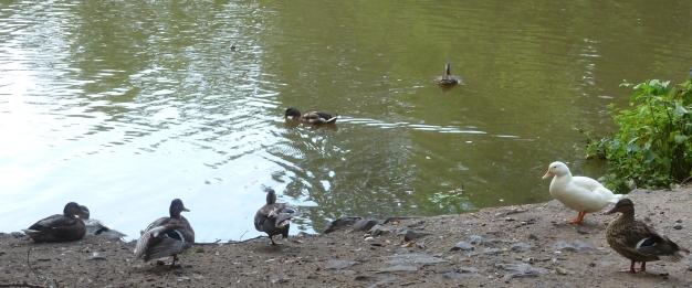 Enten und Graugänse am See