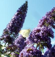 Schmetterlingsbaum mit Kohlweißling