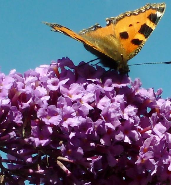 Schmetterling beim Nektar tanken