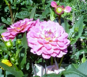 Die ersten Dahlienblüten