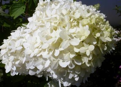 Weiße Hortensienblüte