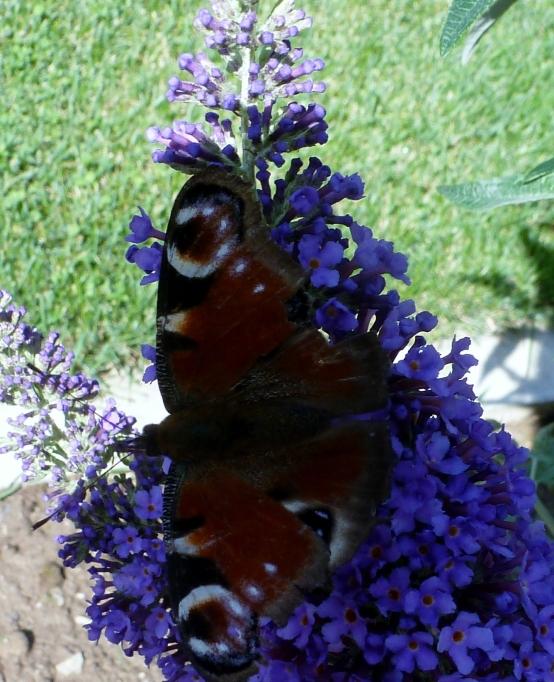 Schmetterling in voller Pracht