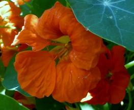 Kapuzinerkressen Blüte