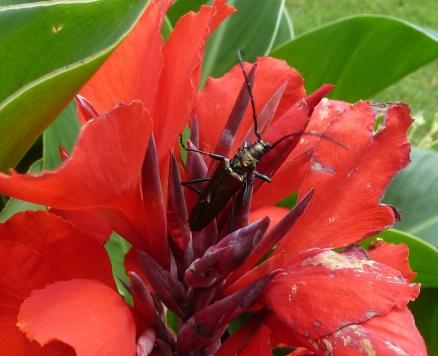Rote Cannablüte mit Käfer