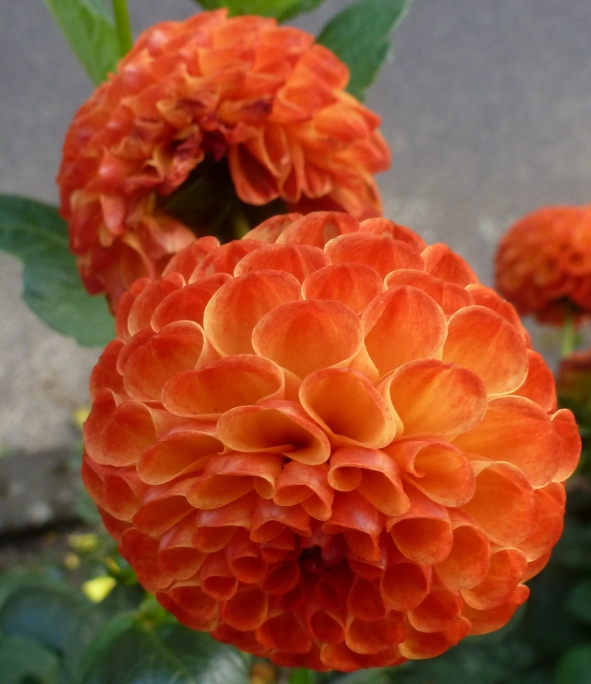 Orange Dahlienblüten