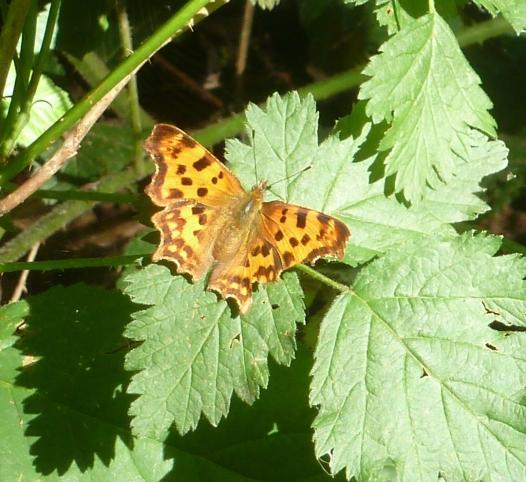 Ein seltener Schmetterling