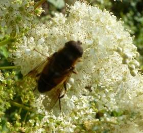Junge Hornisse auf der Blüte