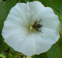 Wildblüte mit Wespe