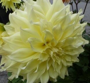 Eine Traumblüte die gelbe Dahlienblüte