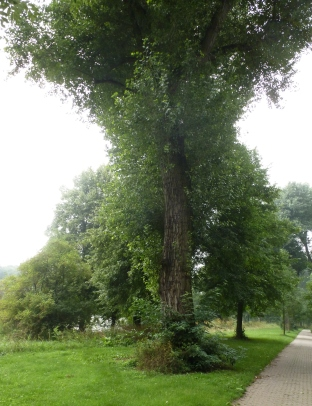 Uralter Baum mit Efeu umrankt
