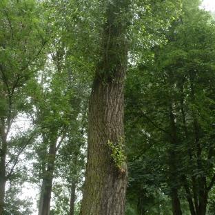 Ein sehr alter Baum wen der Erzählen könnte