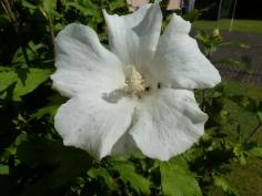 Die Blüte in weiß