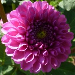 Rosane Blüte in voller Pracht