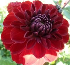 Rote Dahlienblüte