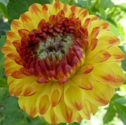Gelb Rote Blüte