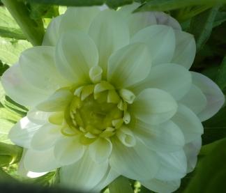 Wunderschöne Dahlienblüte