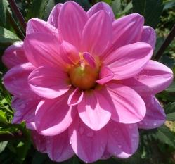 Eine rosane andere Dahlienblüte