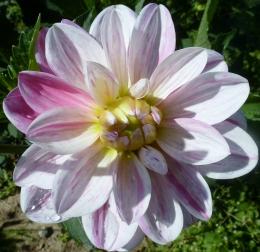 Weiß Rosane Dahlienblüte