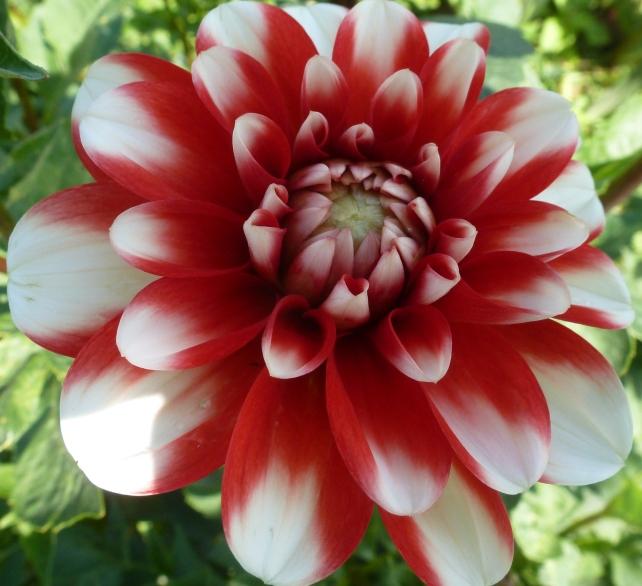 Rot weiße Blüte