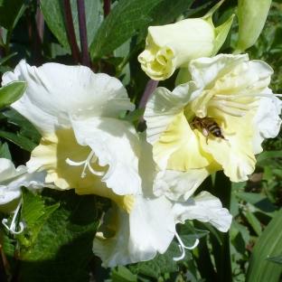 Gladiolenblüten