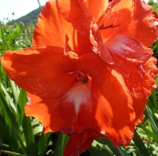 Gladionen Blüte