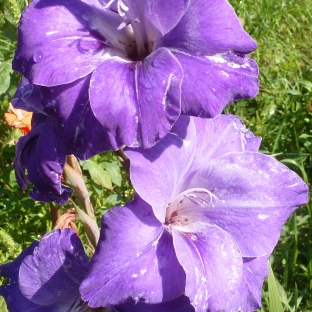 Blaue Gladiole