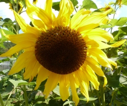 Die Sonnenblume vom Regen ganz schön verzaust