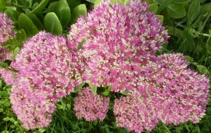 Eine rosane Blütenpracht