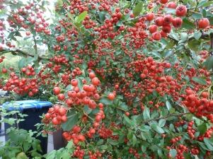 Roter Vogelbeerbusch
