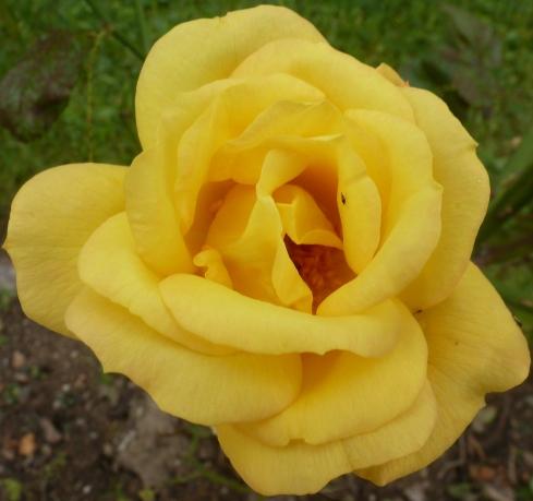 Die gelbe Rose einfach schön anzusehen