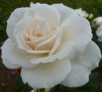 Weiße Rose der Unschuld