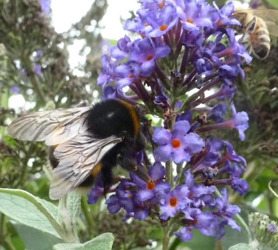 Blauer Schmetterlingsbusch mit der Hummel