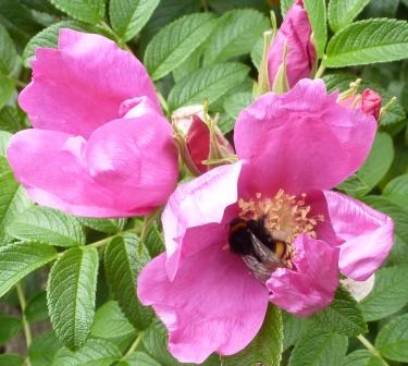 Wilder Rosenbusch mit einer Hummel