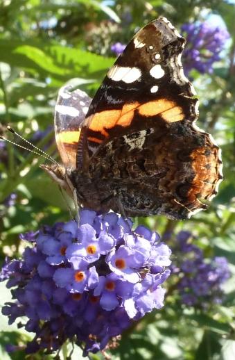 Sie fliegen wieder die Schmetterlinge