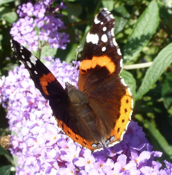 Der Schmetterlinge in ihrer vollen Pracht