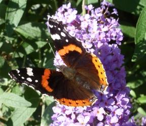 Blauer Schmetterlingsbusch mit schönen Falter