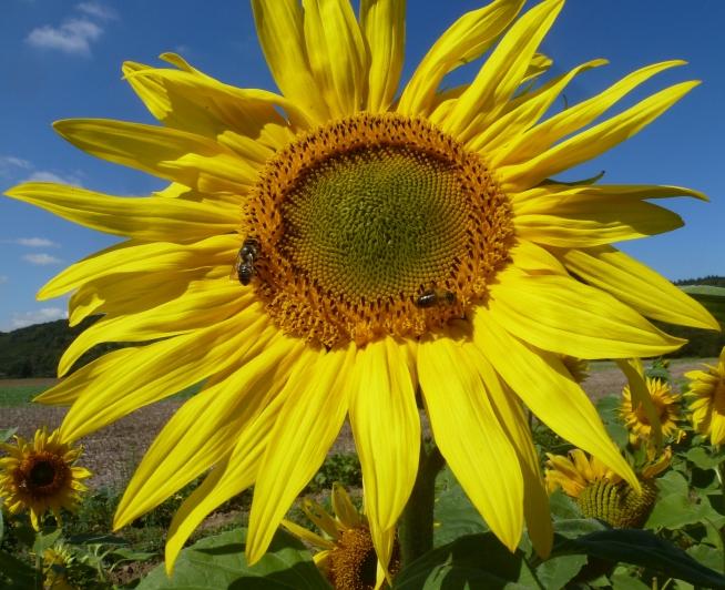 Sonnenblume mit Bienen