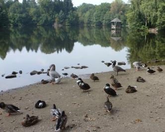 Viele Enten beim Sonnenbaden