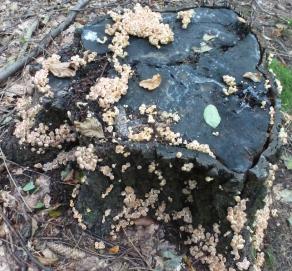 Giftige Stockschwämmchen am Baumstamm