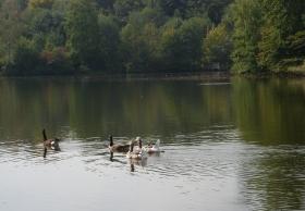 Enten im See der Saaler Mühle