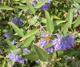 Biene am Lavendelbusch