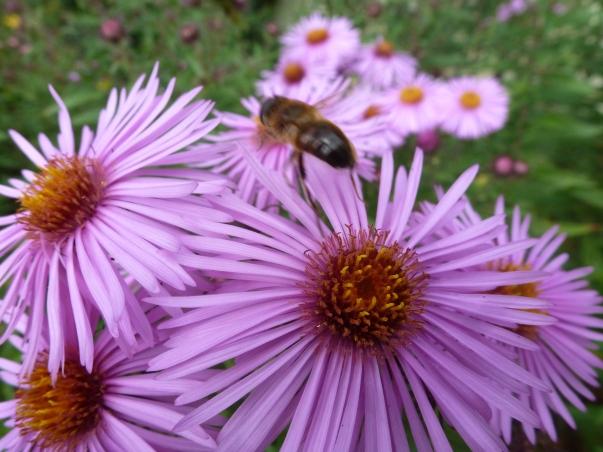 Biene beim Nektar sammeln