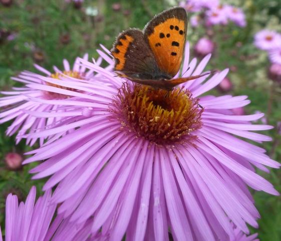 Herbstblume mit wunderschönen Schmetterling