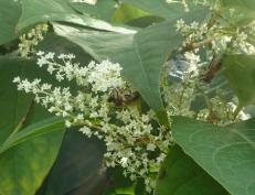 Wilder Blütenbusch an der Ahr